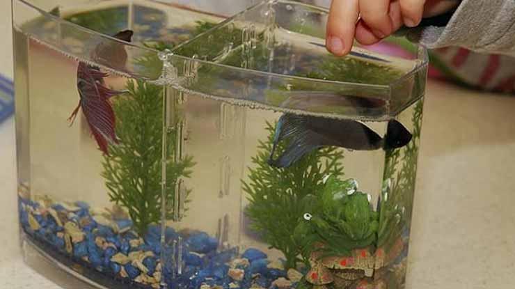 Pengkondisian Ikan Cupang