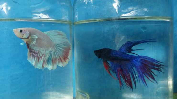 Pisahkan Ikan Cupang